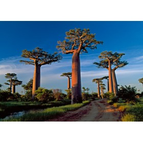 Canvas schilderij Baobab Tree